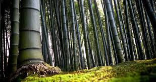 Китайский <b>бамбук</b> - какое значение он несет для народа ...