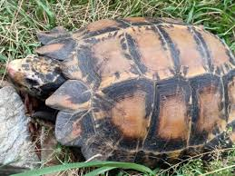 Tortoise Species New To India Discovered In Arunachal Jungle