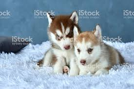 red husky puppy blue eyes. Interesting Red Two Blueeyed Copper And Light Red Husky Puppies Lying On White Blanket  Royalty With Red Husky Puppy Blue Eyes E