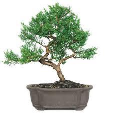 office bonsai. Plain Office Shimpaku Juniper Bonsai Care And Office