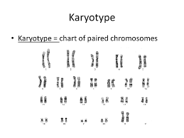 Karyotype Chart Karyotypes How Karyotypes Are Made Sist_safety_mode 1 Safe