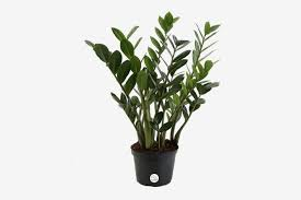 Office cubicle plants Worker Zz Plant u003cemu003ezamioculcas Zamiifoliau003cemu003e New York Magazine The Best Plants For Cubicles According To Plant Experts