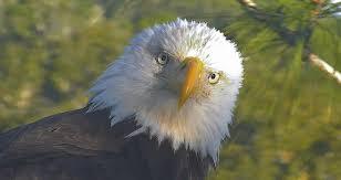 Bald Eagle Age Chart Bald Eagle Biology American Eagle Foundation