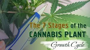 Cannabis Plant Growth Chart The 7 Stages Of The Marijuana Plant Growth Cycle