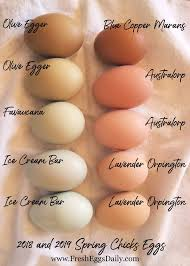 Which Chicken Breeds Lay Which Color Eggs Heres A Handy
