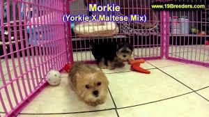 morkie puppies in lansing michigan mi oakland mab kent genesee washtenaw ot