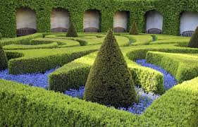 buxus hedging box hedge plants