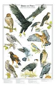Birds Of Prey Poster Identification Chart I Bird