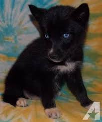 pure black husky puppy. Brilliant Puppy Pure Black Husky With Blue Eyes On Puppy