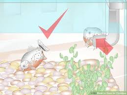 How To Care For Piranhas 10 Steps With Pictures Wikihow