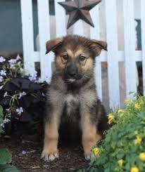 german shepherd mix puppies. Delighful German Pet For Sale For German Shepherd Mix Puppies
