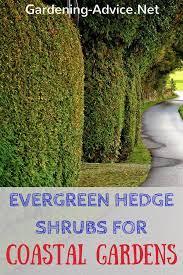 the best evergreen shrubs for hedges in