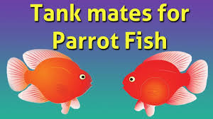Silver Dollar Fish Compatibility Chart Parrot Fish Compatible Tank Mates