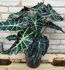 African Mask Plant Light Alocasia African Mask Plant By Milwaukee Florist The