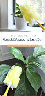 the secret to healthier houseplantaking leaves shine clean them regularly