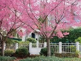 flower tree pictures. Perfect Flower Okame Cherry Tree With Flower Tree Pictures _
