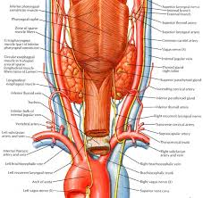 Thyroid Anatomy Thryoid Anatomy