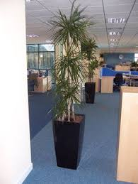 tall office plants. office plants no light 10 air purifying for homes u0026 offices peace lily tall r