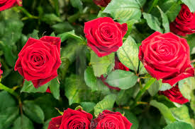 Natural Red Rose Pics Free Download
