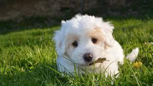 white cute puppy hd wallpaper