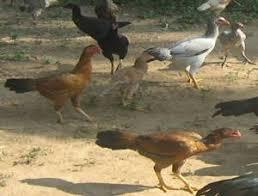 Chicken Breed Chart Pdf Poultry Chicken Breeds Of Chicken