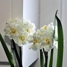 White Paper Flower Bulbs Narcissus Gardens Paper White Flowers Paperwhite Bulbs Smell