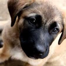 german shepherd mix puppies.  German Mastiff German Shepherd Mix Puppies Beautiful Inside