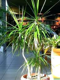 types of indoor trees types of indoor trees types of indoor palms houseplants in the home library indoor palm images types of indoor trees types of indoor