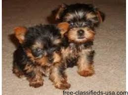 teacup yorkie puppies for adoption. Perfect Teacup TEACUP YORKIE PUPPIES FOR ADOPTION Throughout Teacup Yorkie Puppies For Adoption