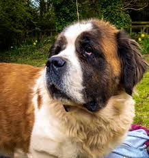 """Matthew Lewis on Twitter: """"This is my St Bernard, Darcy. She ..."""