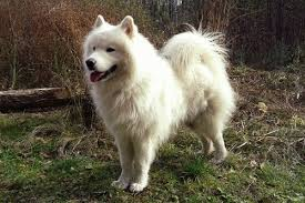 Growth Samoyede Puppy Weight Chart Samoyede