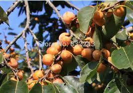 Aliexpresscom  Buy 20pcsLot Papaya Tree Seeds  Bonsai Fruit Lotus Fruit Tree