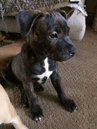 Our staffordshire bull terrier puppies are carefully selected and are bred by reputable breeders, who live up to our high standards. Pin On Puppy