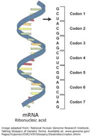 Venn Diagram Comparing Dna And Rna Difference Between Dna And Mrna Difference Between