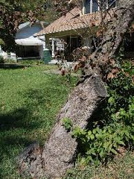 can this tree be saved gardenvoice com