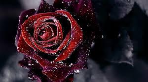 Red Flower Wallpaper Red Flowers Wallpaper Hd 1 Nails Matte In 2019 Red Flower