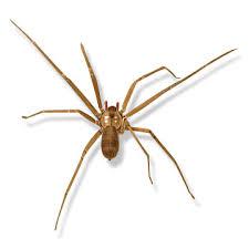 Brown Recluse Spider Desertusa