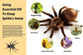 how to kill spiders in house. Keep Spiders Away With Essential Oils Info-graphic How To Kill In House