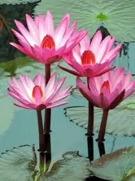 How To Make Big Lotus Flower From Paper Great Concept Best Lotus Flower Wallpaper Cars 165 227 12 246