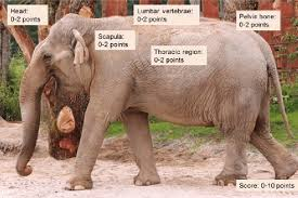 Composite Body Condition Scoring In Elephants Modified