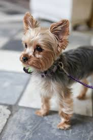 yorkshire terrier haircuts.  Yorkshire Our Favorite Accessory Of 2014 Miss Ellie The Yorkie Pup Photo By  Jennifer Bearden And Yorkshire Terrier Haircuts E