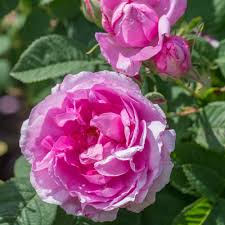 Empress Joséphine   Old Rose   David Austin Roses