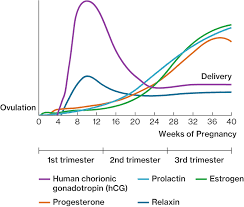 Estrogen And Progesterone Levels In Pregnancy Chart Pregnancy Course Hero