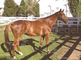 Pferdevokabular Deutsch Englisch