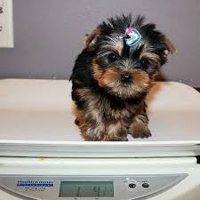 best male and female yorkie puppies available