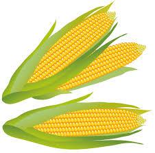 ear of corn clipart. Interesting Corn Vector Stock Ear Of Corn Clipart Group Ourclipart And Of Corn Clipart