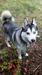a my lacey has one brown eye and one blue eye too siberianhusky