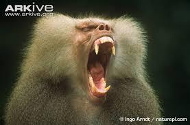 baboon க்கான பட முடிவு