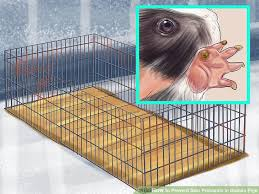 image titled prevent skin problems in guinea pigs step 1