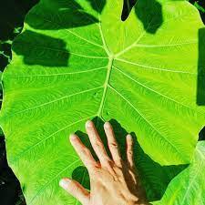 ออดิบ (Colocasia gigante)